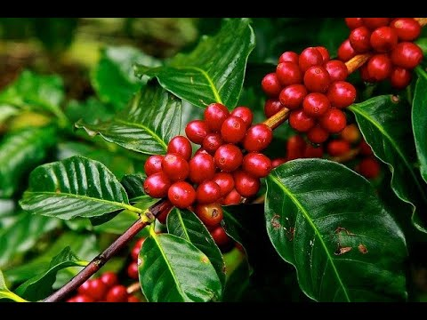 The Craft and Science of Coffee - VIDEO for a good cause