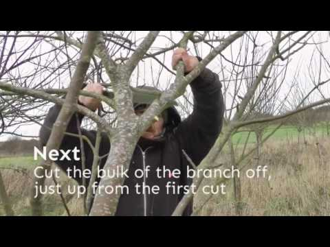 Winter pruning - a step by step guide to winter pruning apple and pear trees