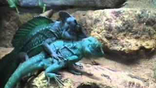 Zoo Banter 18 -- Infamous reptile porn (and metal headbanging)
