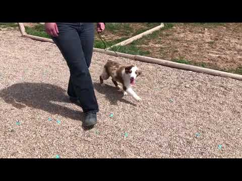 Red Merle Miniature Australian Shepherd  COSMO  COLOR COUNTRY AUSSIES