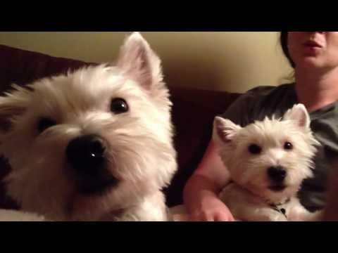 Westie dogs howl