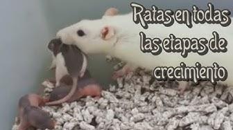 RATAS - Las crías de las ratas (2a parte)