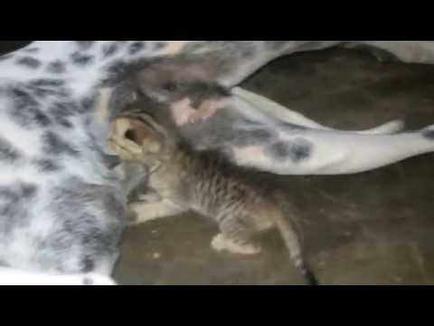 Mother is Dalmatian and baby is kitten real story  ESK TV