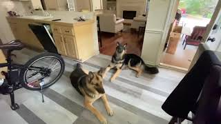 GSD Dogs Trying To Catch Their Treats | This Indian GSD