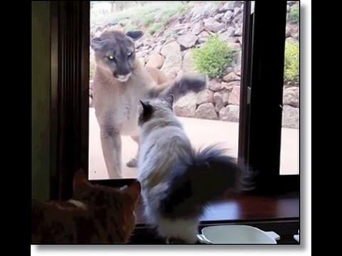 House Cat Seems Unfazed by a Giant Mountain Lion Outside Window