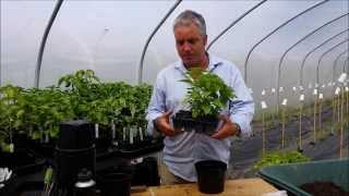 How to Pot (Potting) up a Chilli Pepper Plant Easy Guide