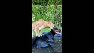 Всем любителям доберманов посвящается Подборка прикольных видео о собаках Doberman Pinscher Videos