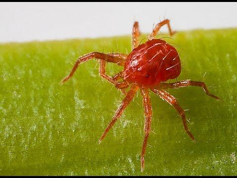 Resultado de imagen para arañita roja