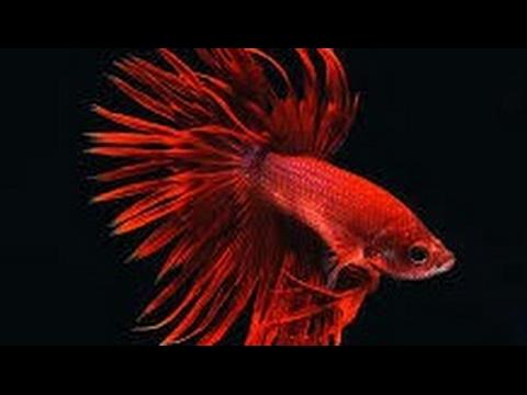 Чем кормить рыбку петушка? /кормление рыбки петушек/ Рыбка петушек/Рыбка Птолемей