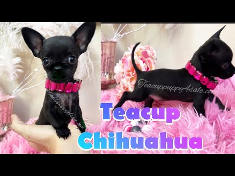 Tiny Teacup Chihuahua Puppy For Sale | Deerhead Chihuahua For Sale In Arizona