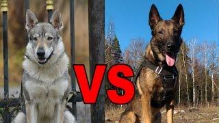Волк против собаки. Кто быстрее? Wolf VS Dog