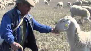 Quesería Artesanal Vicente Pastor -Nuestras ovejas