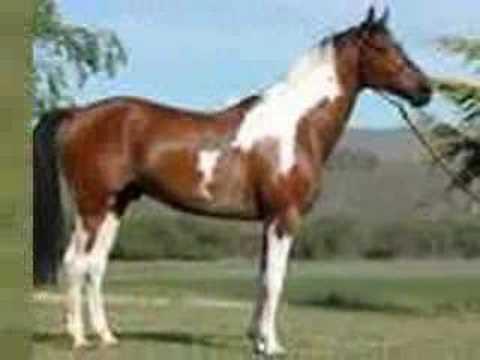 Pinto Horses - YouTube