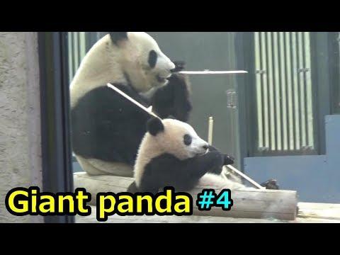 Giant panda シャンシャン シンシンと並ぶ姿が可愛すぎる パンダ【上野動物園】