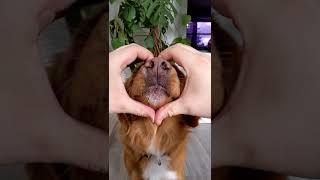 Når hunden giver kærlighed 😍! #shorts