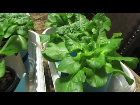 Easy to Grow Hydroponic Lettuce Using the Kratky Method