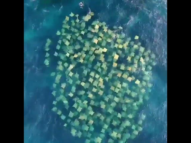 Rays Swimming off Bondi Beach