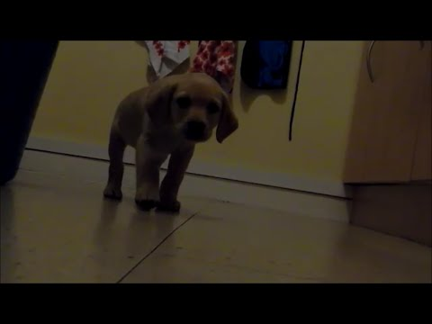 Cute Labrador puppy First day at home