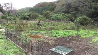 畑を囲んでいた柵に首を挟まれ抜けなくなったところに槍の一突き。撮影...