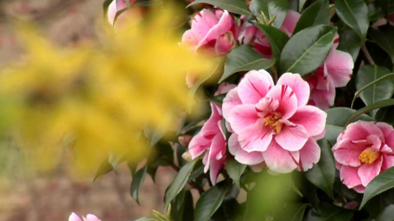 Fiori Di Primavera.Fiori Di Primavera Hd 1440x1080 Test Panasonic P2 Youtube