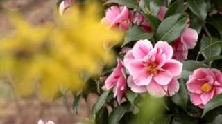 Fiori di Primavera  HD 1440x1080 test  Panasonic P2