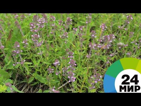 «Антистресс» для горожан: армянские травы полюбили в России - МИР 24