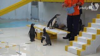 今年6月25日生まれの仔ペンギン。ぽくちゃん。ショーチームへ来てまもな...
