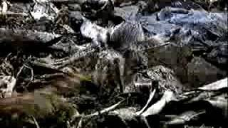 Giant Centipede VS Tarantula