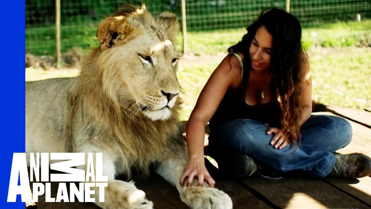 This Woman Has Integrated Herself With Four Lions | World's Oddest Animal Couples