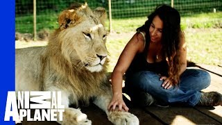 Lions Treat Woman Like the Leader of the Pride thumbnail