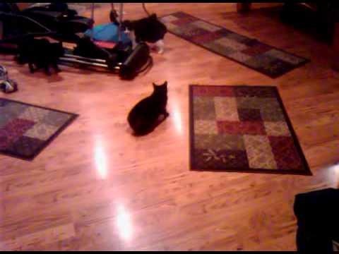 Crazy Manx Cats