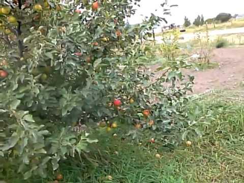 Semi-Dwarf vs. Standard Apple Trees