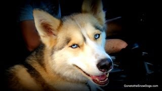 Should I Breed My Siberian Husky? Fan Friday #73
