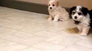 Maltese Mix Puppies For Sale