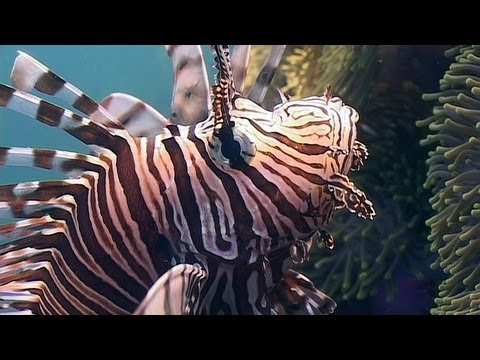 Lionfish, Sea Urchins, Crown Of Thorns - Reef Life Of The Andaman - Part 17