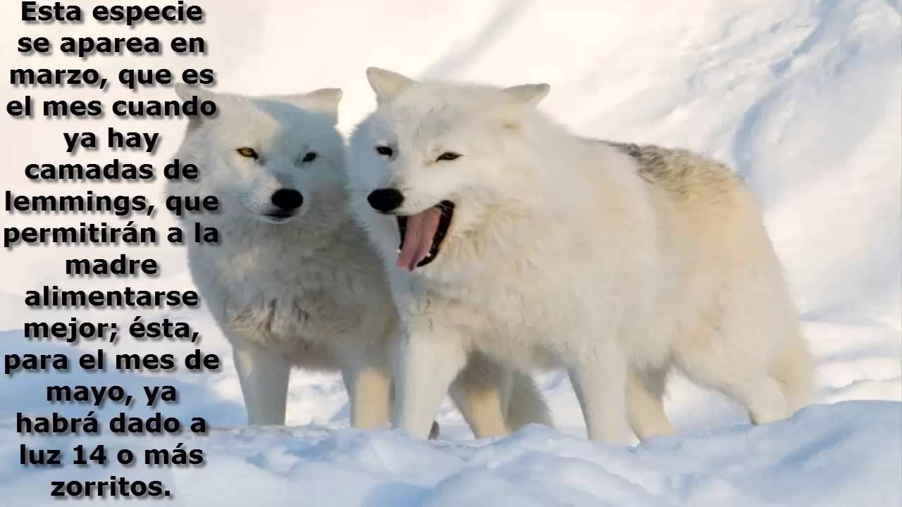 zorro ártico - YouTube