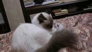 Невский маскарадный котенок луиза Снежная магия продается