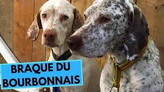 Braque du Bourbonnais  TOP 10 Interesting Facts