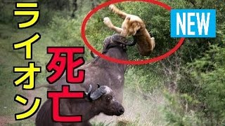 【閲覧注意】①ライオンVSバッファロー!ライオン死亡②オオカミの捕食 バ...