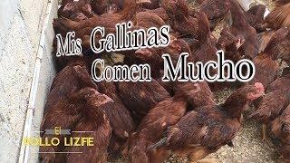 ALIMENTANDO A MIS GALLINAS PONEDORAS Tienen mucha hambre