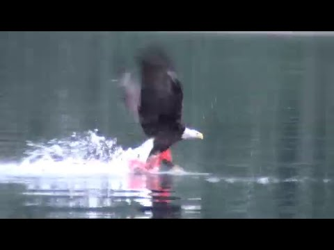 Bald Eagle Catches Fish And Swims With It To Shore