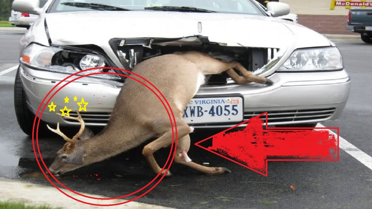 Accident Reporst Of Car Deer Collisions