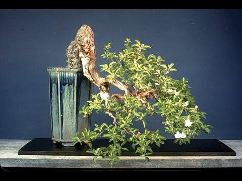 Flowering Top Hat Blueberry Bonsai Tree Youtube