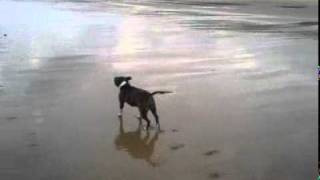 My Brindle Staffordshire Bull Terrier On The Beach Having A Swim