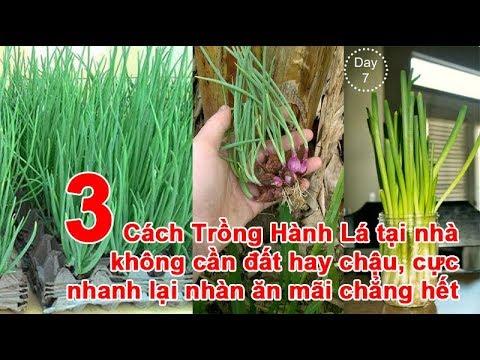 3 Cách Trồng Hành Lá tại nhà không cần đất hay chậu, cực nhanh lại nhàn ăn mãi chẳng hết