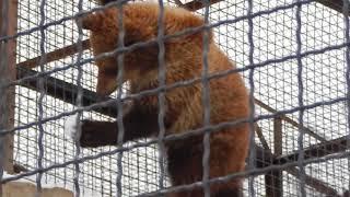 Забавы медвежат в Тайгане