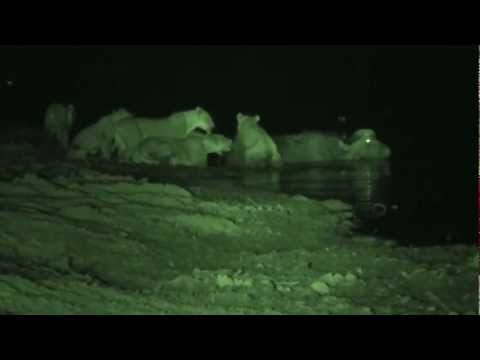 Nsefu lion pride take down 2 buffalo