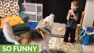Little boy's train whistle sends husky into howling fit