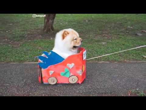 CHOW CHOW TOBYPUFF AND HIS VERY SPECIAL CAR!!