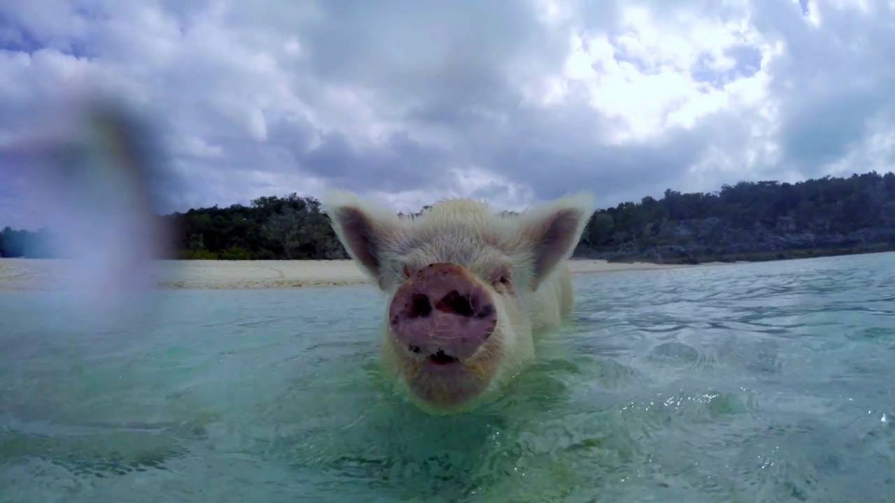 Swimming with Pigs on Pig Beach, Big Major Cay, Bahamas - Featuring Bread  Cam & Underwater Shots
